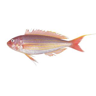 急冻 红线鱼